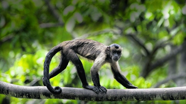 A 'Brown Capuchin Monkey', one of the primates that 'self medicates'