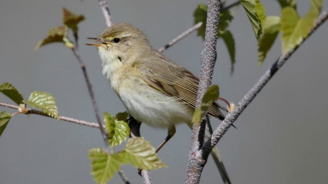 The willow warbler, or to give its full name, the Phylloscopus trochilus