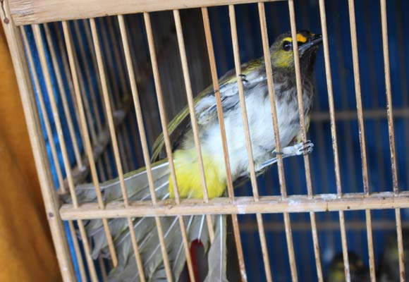 Orange-Spotted Bulbul for sale: an upland species endemic to Sumatra and Java © Gabriel Low