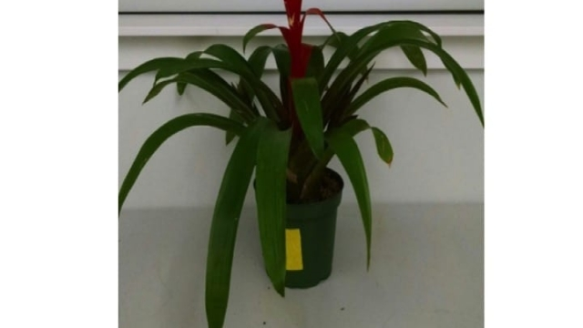 Bromeliad plants are good at removing a wide variety of VOCs from the air. CREDIT Vadoud Niri