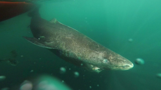"A Greenland shark slowly swimming away from the zodiac, returning to the deep and cold waters of the Uummannaq Fjord in northwestern Greenland. The sharks were part of a tag-andrelease program in Norway and Greenland. This material relates to a paper that appeared in the 12 August 2016, issue of Science, published by AAAS. The paper, by J. Nielsen at University of Copenhagen in Helsingør, Denmark, and colleagues was titled, ""Eye lens radiocarbon reveals centuries of longevity in the Greenland shark (Somniosus microcephalus)."" CREDIT Julius Nielsen"