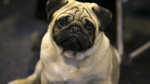 Flat-faced dogs such as pugs can suffer from eye ulcers and severe breathing difficulties (Photo: Getty)
