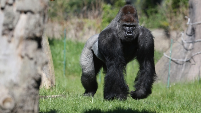 London Zoo was on lock down after a gorilla escaped (Photo: Getty Images)