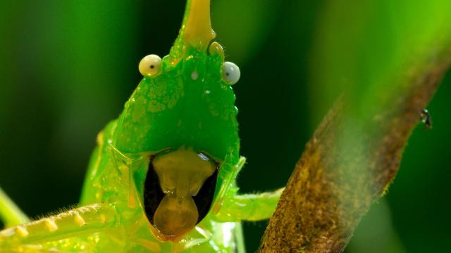 A Costa Rican cone head cricket in Planet Earth II