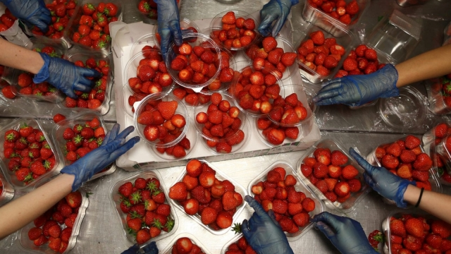 British strawberries are under threat if pickers are not found (Photo: Getty)