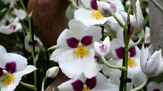 Miltoniopsis orchids, also known as Pansy orchids