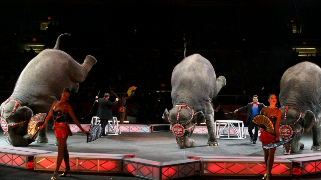 Elephants stand on their trunks during a live perfomance of Ringling Bros. and Barnum & Bailey Circus in 2007 in New York City. (Photo by Scott Wintrow/Getty Images)
