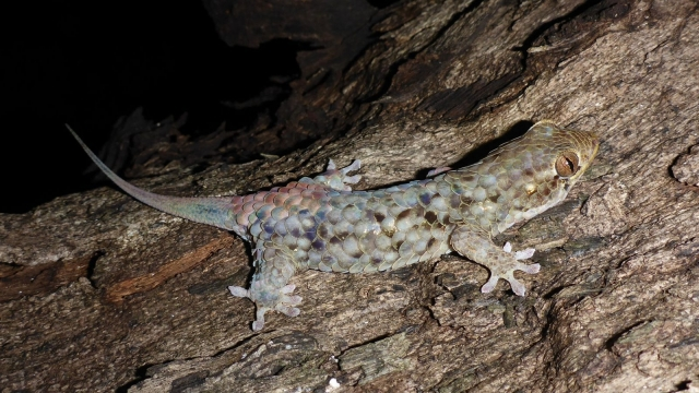 The new fish-scale gecko, Geckolepis megalepis, has the largest body scales of all geckos. This nocturnal lizard was discovered in the 'tsingy' karst formations in northern Madagascar (CREDIT F. Glaw)