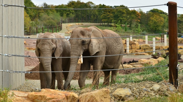 Elephants are still kept in zoos - although stress means that they live only half as long in captivity as in the wild (Photo: AFP/Getty)
