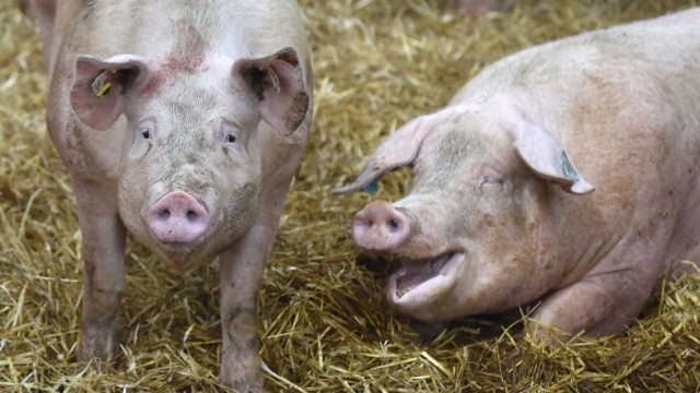 Two pigs, possible future causes of traffic chaos (Photo: Getty)