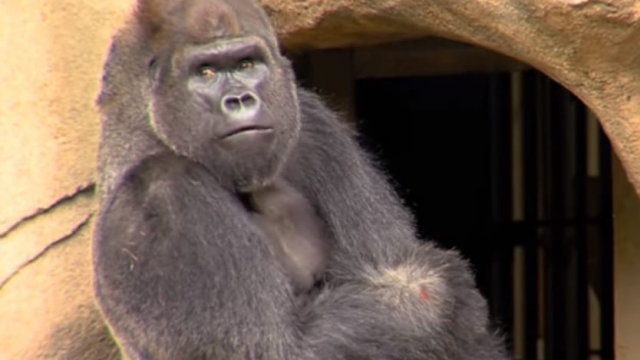 Article thumbnail: Will visitors go ape for new gorilla Mshindi or does the spectre of Harambe still loom large? (Photo: Cincinnati Zoo)
