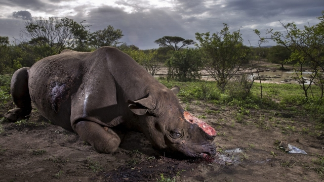 Memorial to a species by Brent Stirton (Photo by Brent Stirton/Getty Images Reportage for National Geographic Magazine.)