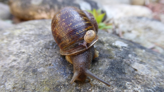 """Jeremy the snail was so unlucky in love two """"leftie"""" snails brought in to romance him mated with each other instead. """"Uncle Jeremy"""" is pictured here with one of their offspring (Photo: Dr Angus Davison/The University of Nottingham)"""