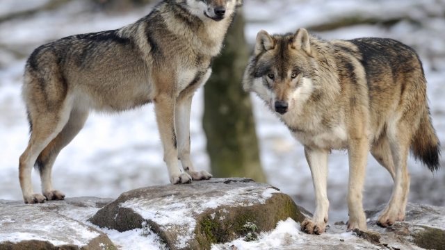 """Livestock farmers across Brandenburg have been organising so-called """"wolf-watches"""" to prevent attacks"""