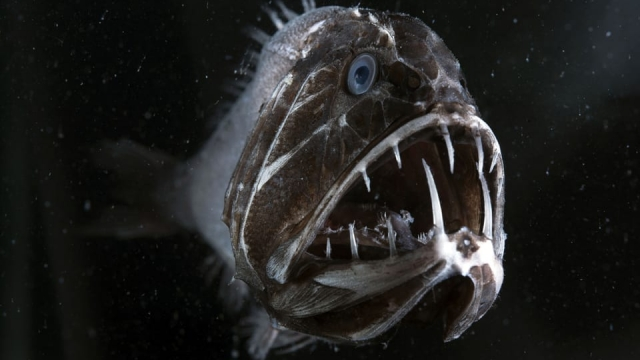 The Fangtooth's teeth are so large that it is unable to shut its mouth