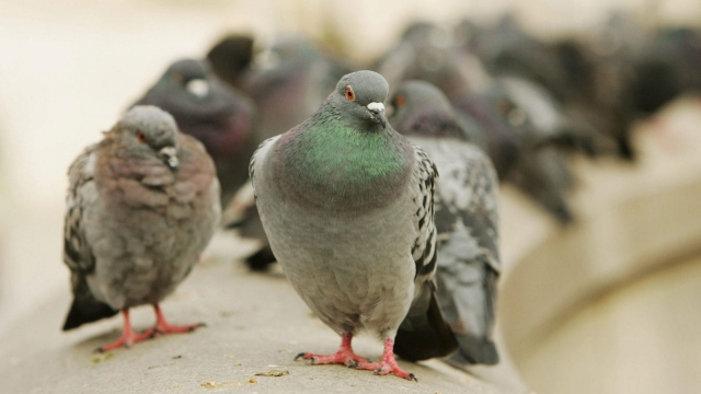 Pigeons racing has caught on in China (Photo: Getty)