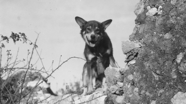 Chips the dog has been posthumously awarded the PDSA Dickin Medal for his 'heroic' war effort (Photo: PDSA/PA)