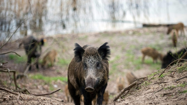 Wild boar such as these could be culled at the estate (Photo: Getty Images)
