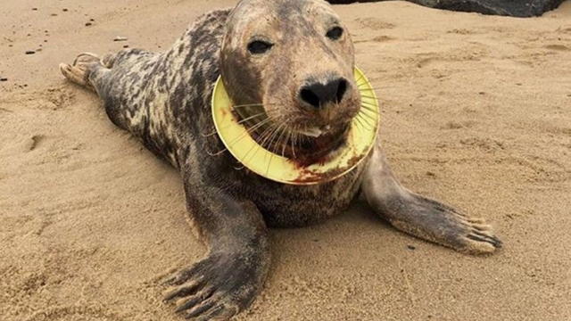 Atlantic grey seal, nicknamed Mrs Frisbee, underweight and week the day she was found in September 2017 with a yellow frisbee stuck around her neck. (Photo: Friends of Horsey Seals/PA Wire)