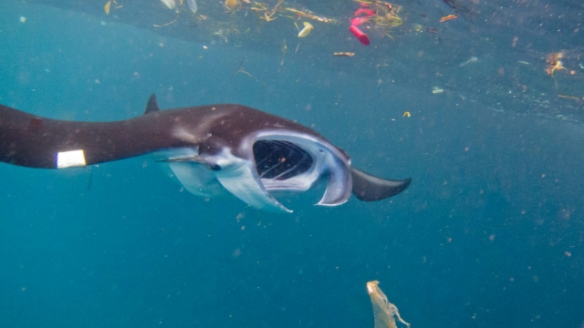 Manta Ray swimming through plastic-filled waters in Indonesia