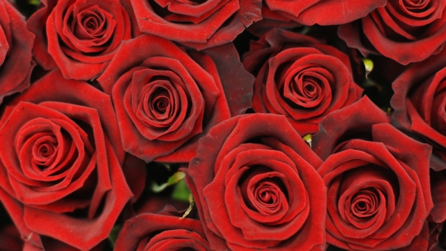 Red roses are a Valentine's Day tradition - but Which? is proving to be a thorn in the side of some online florists (Photo: Dan Kitwood/Getty Images)