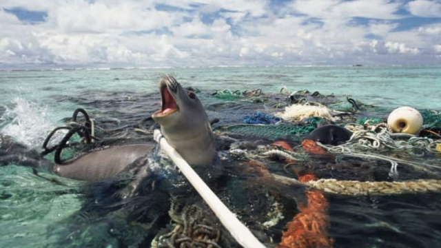 A Hawaiian monk seal caught in fishing tackle in the Pacific Ocean (Photo: Michael Pitts/naturepl.com)