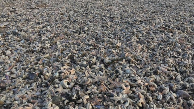 Thousands of starfish have washed up on beaches in Kent following Storm Emma.