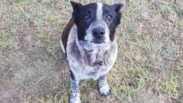 Max, the blind and partially deaf Blue Heeler, who kept Aurora safe
