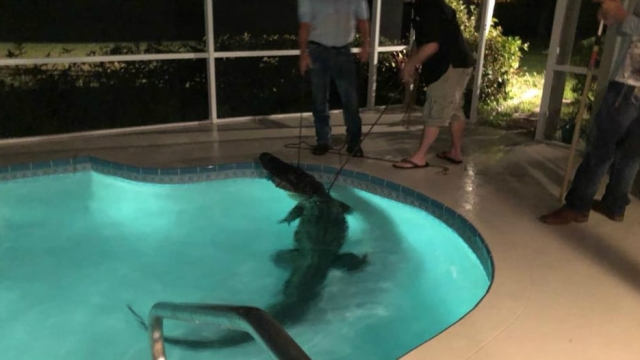 A photo issued by the Sarasota County sheriff's office of the 11 foot long alligator found in a resident's pool