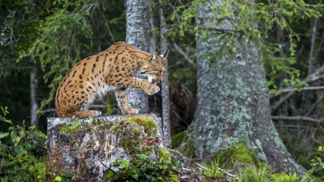 A Eurasian lynx in Switzerland's Jura mountains (Photo: Laurent Geslin)