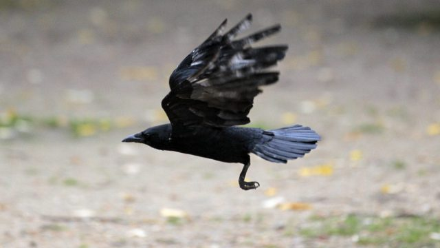 It turns out a living crow is even more scary than a dead one (JACQUES DEMARTHON/AFP/Getty Images)