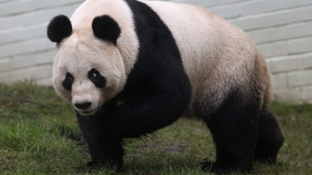 Tian Tian, the female of the panda pair loaned to Scotland by China in 2011 (Photo: Getty)