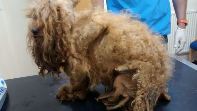 The abandoned dog was found with hair so badly matted it had cut off the circulation to one of his feet, causing it to rot off. (Photo: RSPCA/PA Wire)