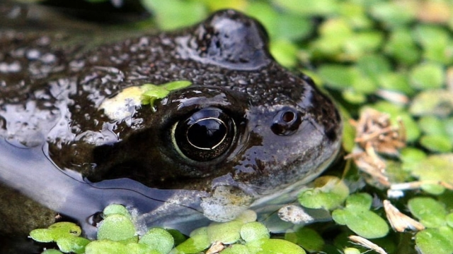 Sightings of frogs and toads in gardens have declined as ponds vanish, RSPB survey results suggest. (Photo: Andrew Milligan/PA Wire)