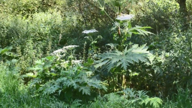 Heracleum mantegazzianum, as it is known scientifically, is a non-native plant that originates from southern Russia and Georgia. Photo: RHS