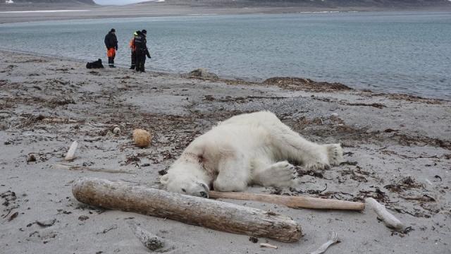 Polar bear shot Norway