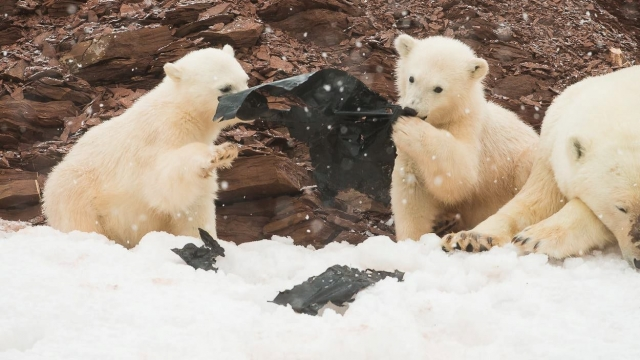 Polar bears playing with plastic