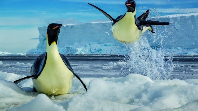 Ross Sea, Antarctica: Emperor penguins rocket out of the water (Photo: Paul Nicklen)