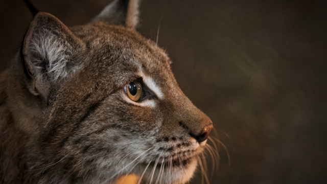 The possible reintroduction of lynx to the UK has proved controversial (Photo: Chris Godfrey)