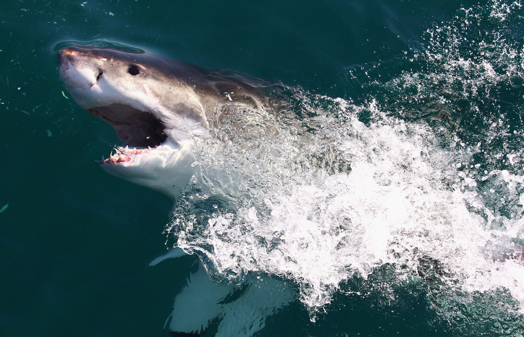 The mystery of the disappearing great white sharks in South Africa's False Bay