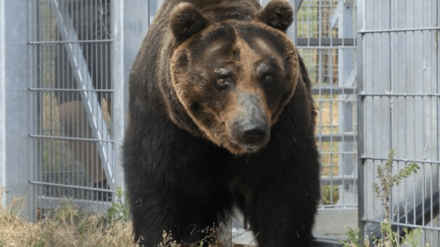 The four brown bears are living happily at Yorkshire Wildlife Park in Doncaster