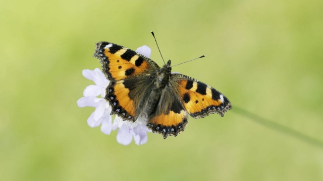 The Small Tortoiseshell butterfly. (Photo: Iain H Leach/ Butterfly Conservation)