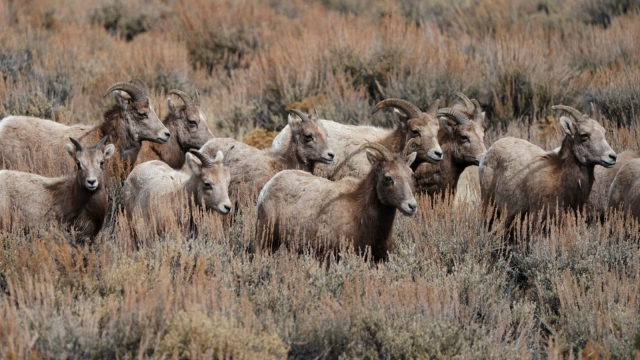 Bighorn sheep learn from the herd how to migrate across the American West, say scientists (Photo: Getty)