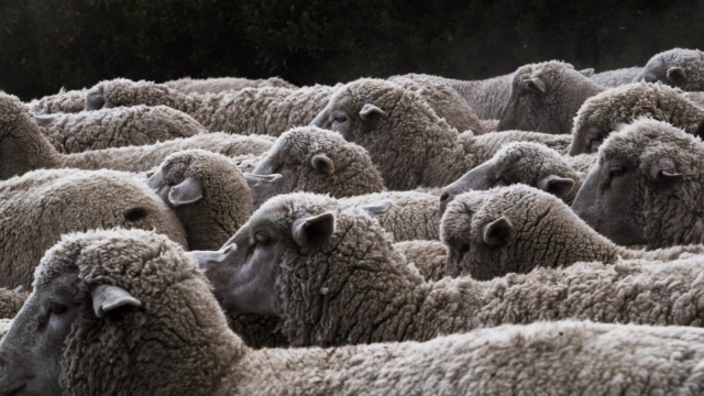 Sheep Brexit