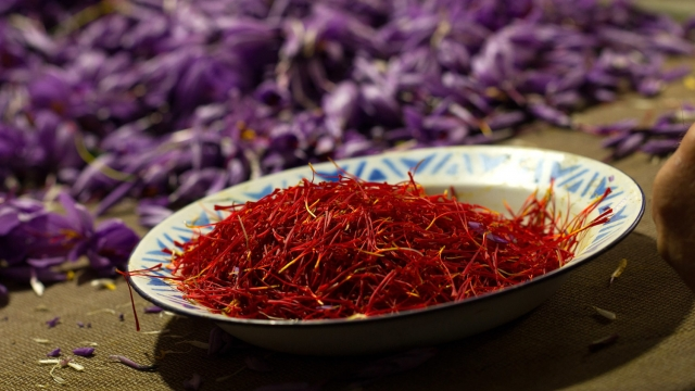 Harvesting saffron by hand is notoriously hard work (Denis Doyle/Getty Images)