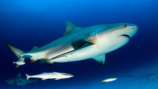 A shark has killed a man in Queensland, Australia. The Whitsunday islands attract bull, tiger and whaler sharks (Photo: Shutterstock)