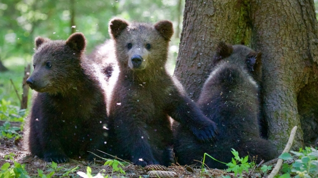 Four-month-old Pasha and other cubs foraging for food at the Orphaned Bear Rescue Centre in Bubonitsy, Russia (Photo: Anwar Mamon)
