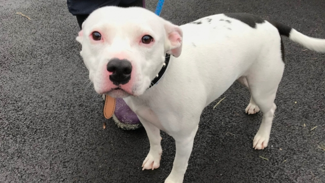 Staffordshire bull terrier, who has been named Snoop, that was abandoned at the side of the road in Trentham, Stoke-on-Trent (Photo: PA)