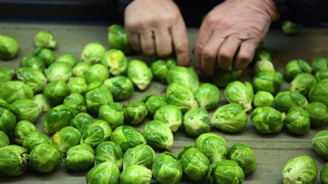 These are normal-sized Brussels sprouts - but this year's crops have shrunk due to the summer heatwave (Brian Lawless/PA Wire)