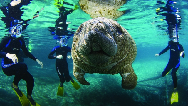 A manatee in the crystal-clear waters of Florida (Photo: David Schrichte)